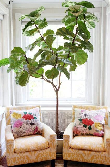 fiddle leaf plant, fiddle tree, ficus plant, house plant, sitting corner