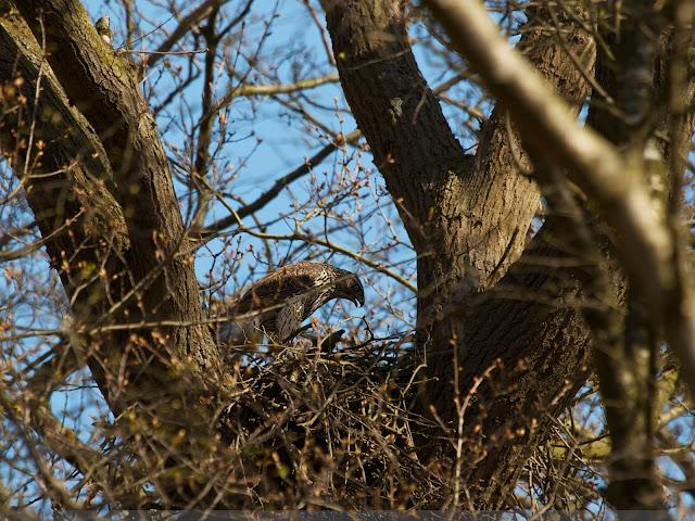 Havik op nest - Northern Goshawk on nest - Accipiter Gentilis