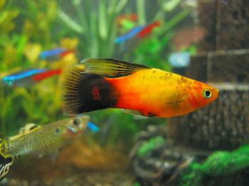 Akvaryum plati balığı hakkında bilgi