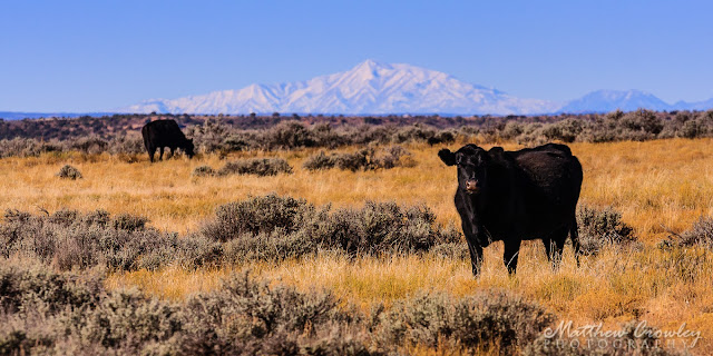 Open Range - cattle with mountains in the background