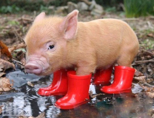 Funny Pigs Pets Cute And Docile