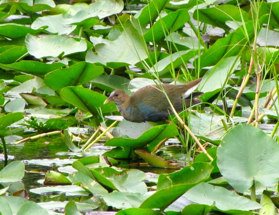 Common Moorhen in Shark Valley, Everglades National Park