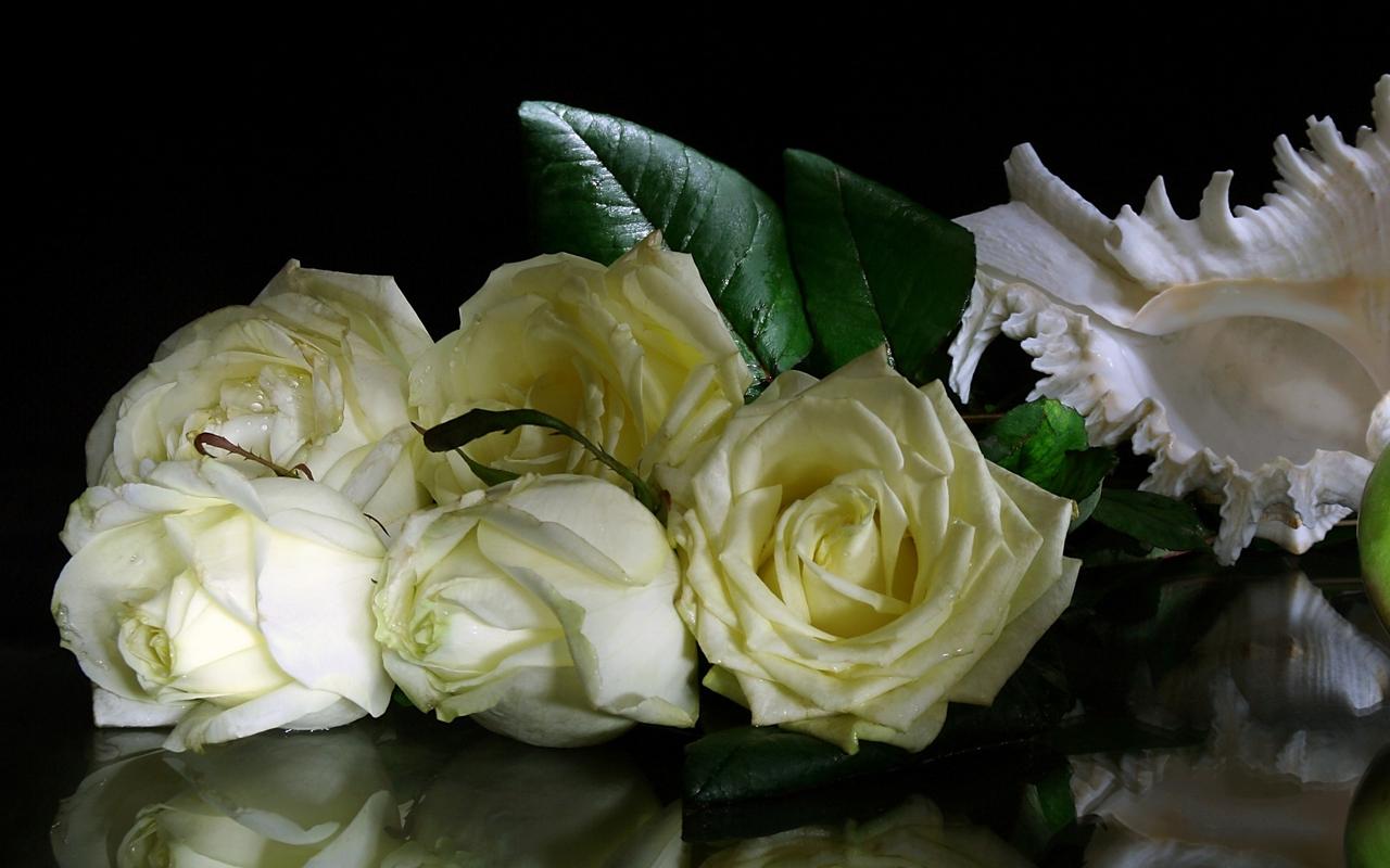 Fondos De Rosas Blancas Fondos De Pantalla