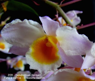 Dendrobium farmeri  do blogdabeteorquideas