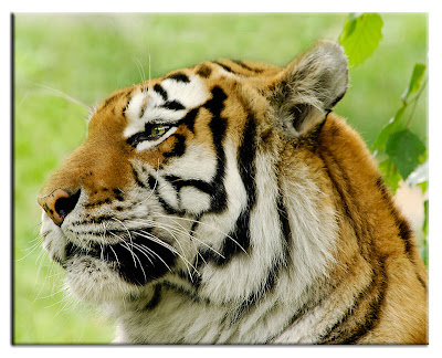 ENCYCLOPEDIA OF ANIMAL FACTS AND PICTURES: Siberian Tigers