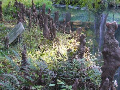 交野市・大阪市立大学 理学部付属 植物園 ラクウショウの膝根(しっこん)