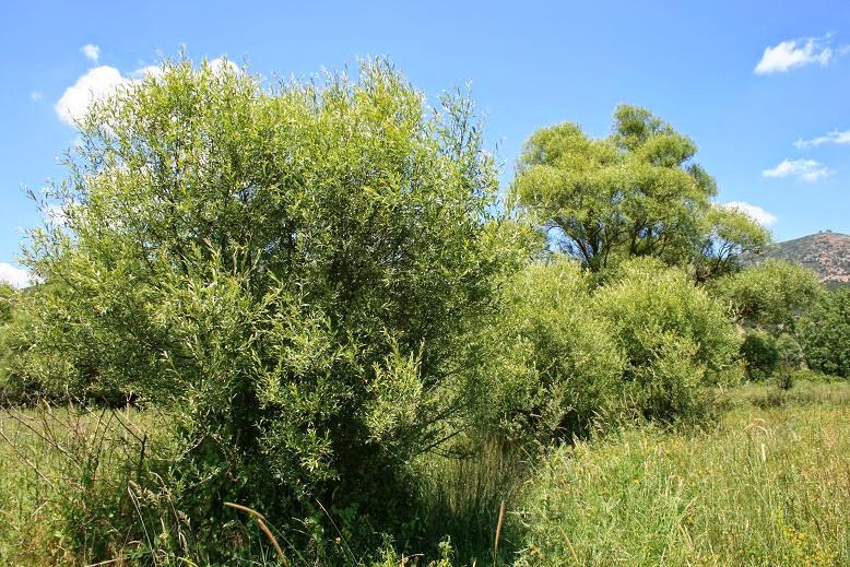 Salix amplexicaulis