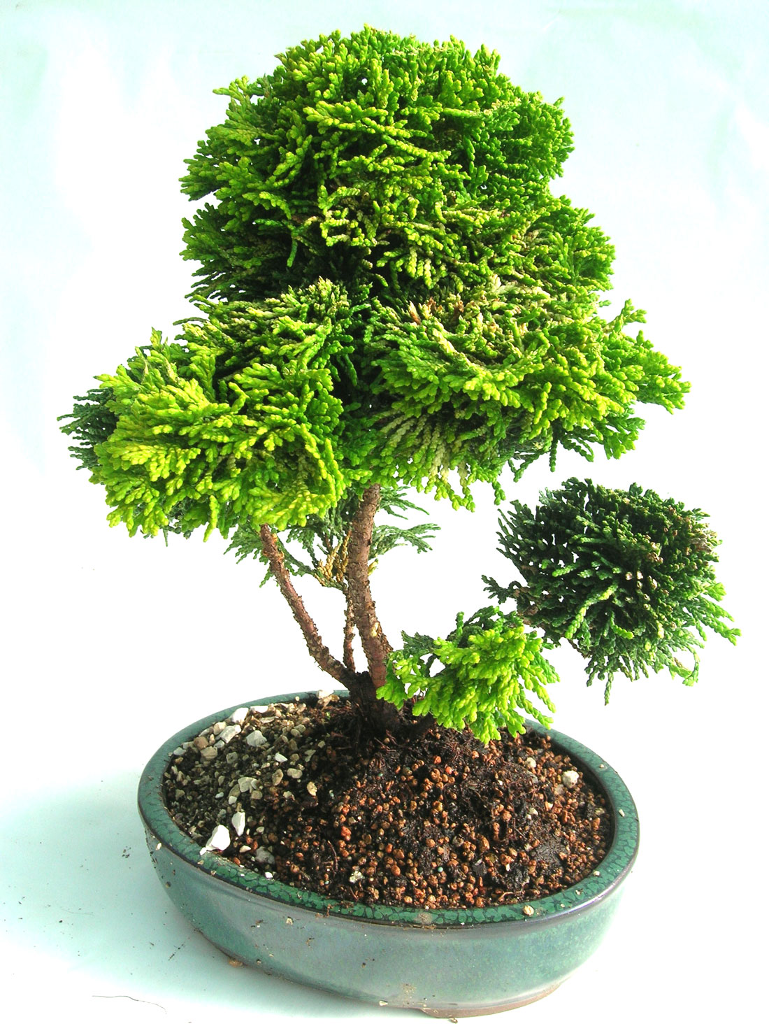 Plants Suitable For Bonsai Making Home Garden And Landscaping