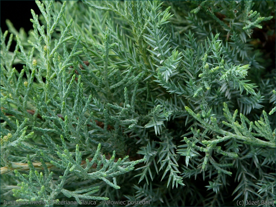 Juniperus media 'Pfitzeriana Glauca' - Jałowiec pośredni  'Pfitzeriana Glauca'  igły