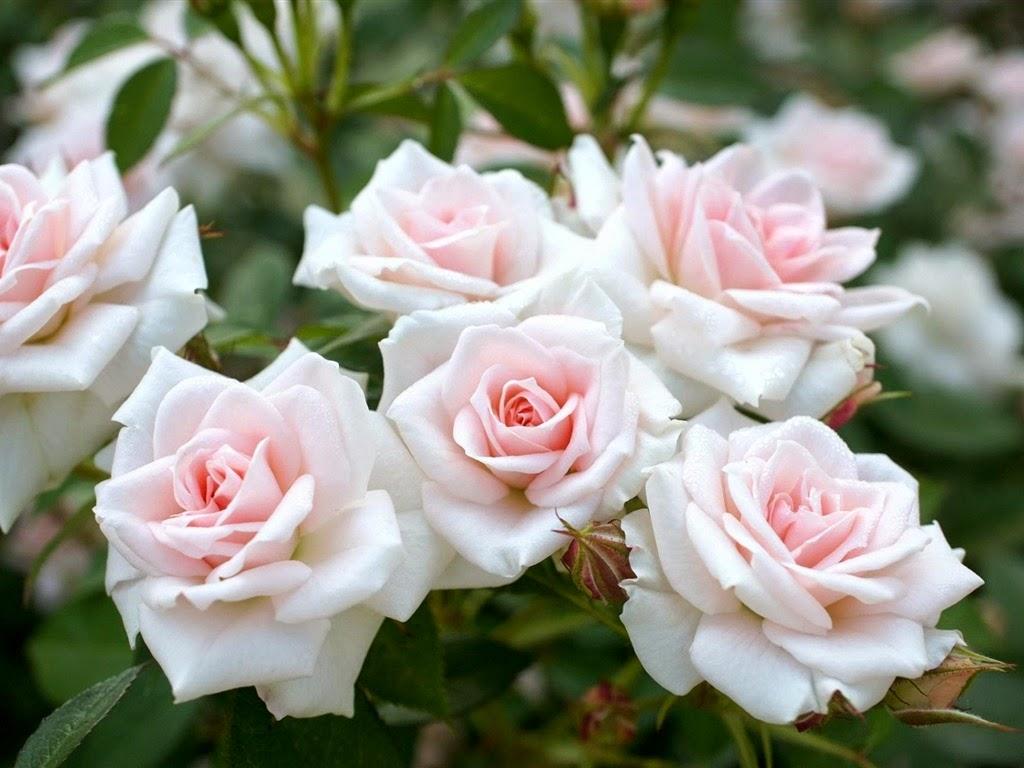 White Rose Flower HD Wallpaper