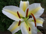 My Lily with Yellow stripes