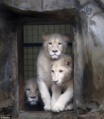 White Lions Photos, Rare White Lions