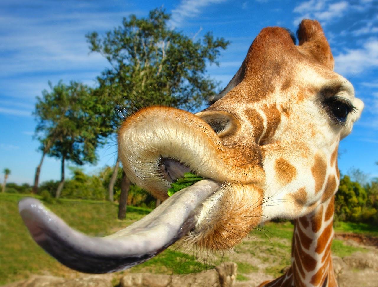 Giraffe tongue - photo#6