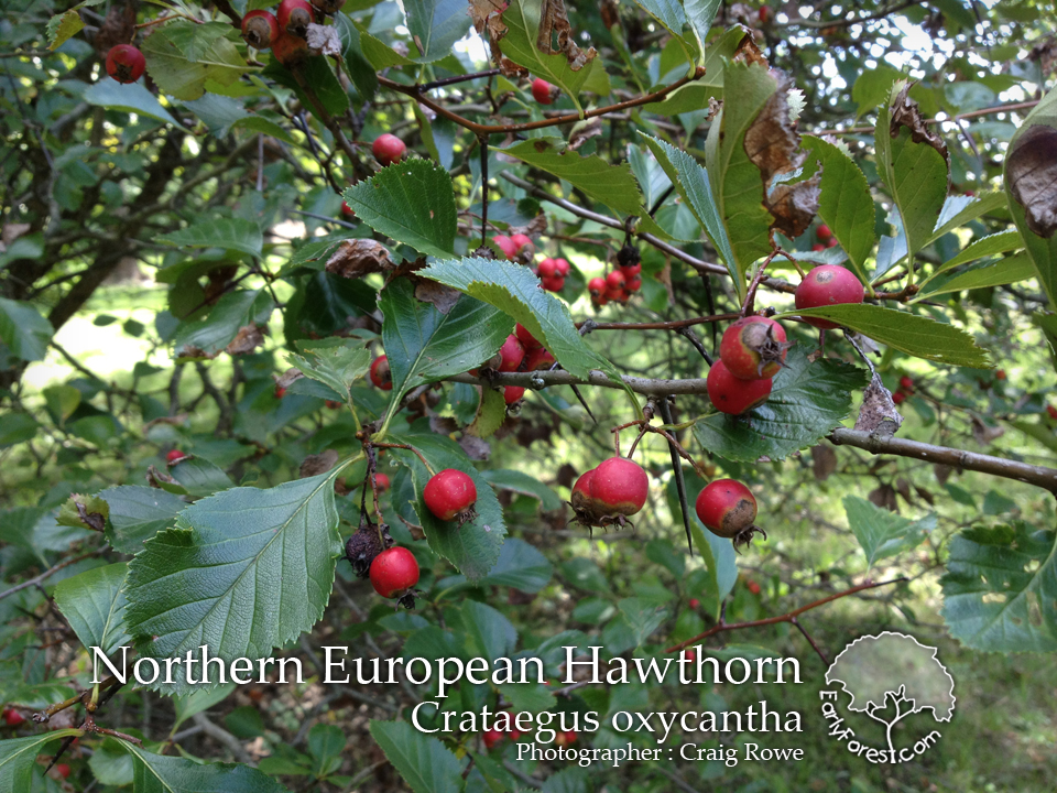 Chinese Hawthorn Tree