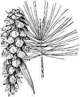Needles and cone of white pine