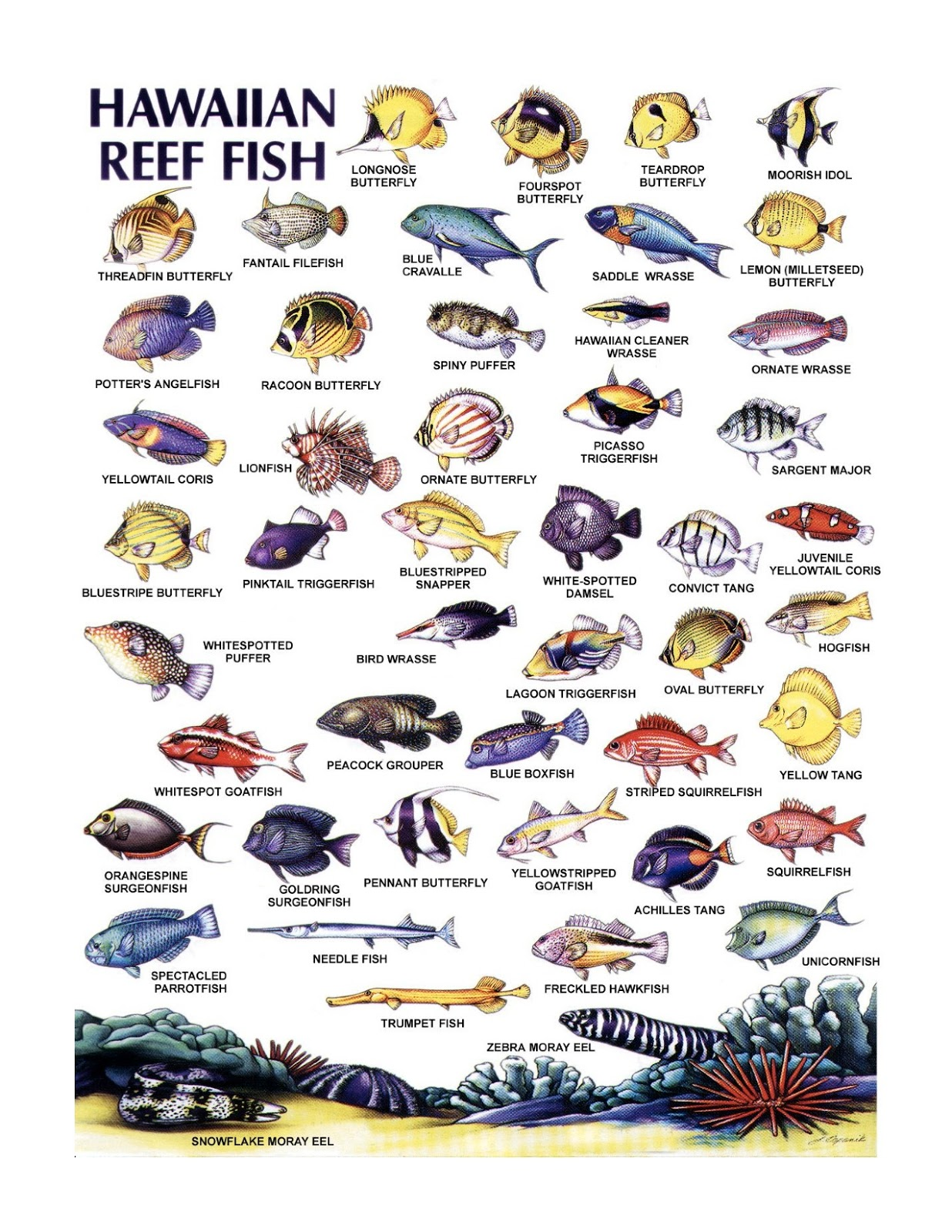 Image gallery hawaii reef fish for Hawaii reef fish