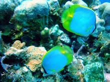 Spotfin Butterfly fish