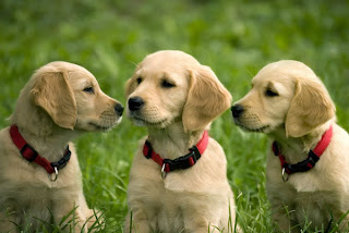 Cute Golden Retriever Puppies Pictures
