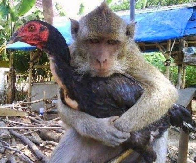 gambar monyet lucu gambar monyet