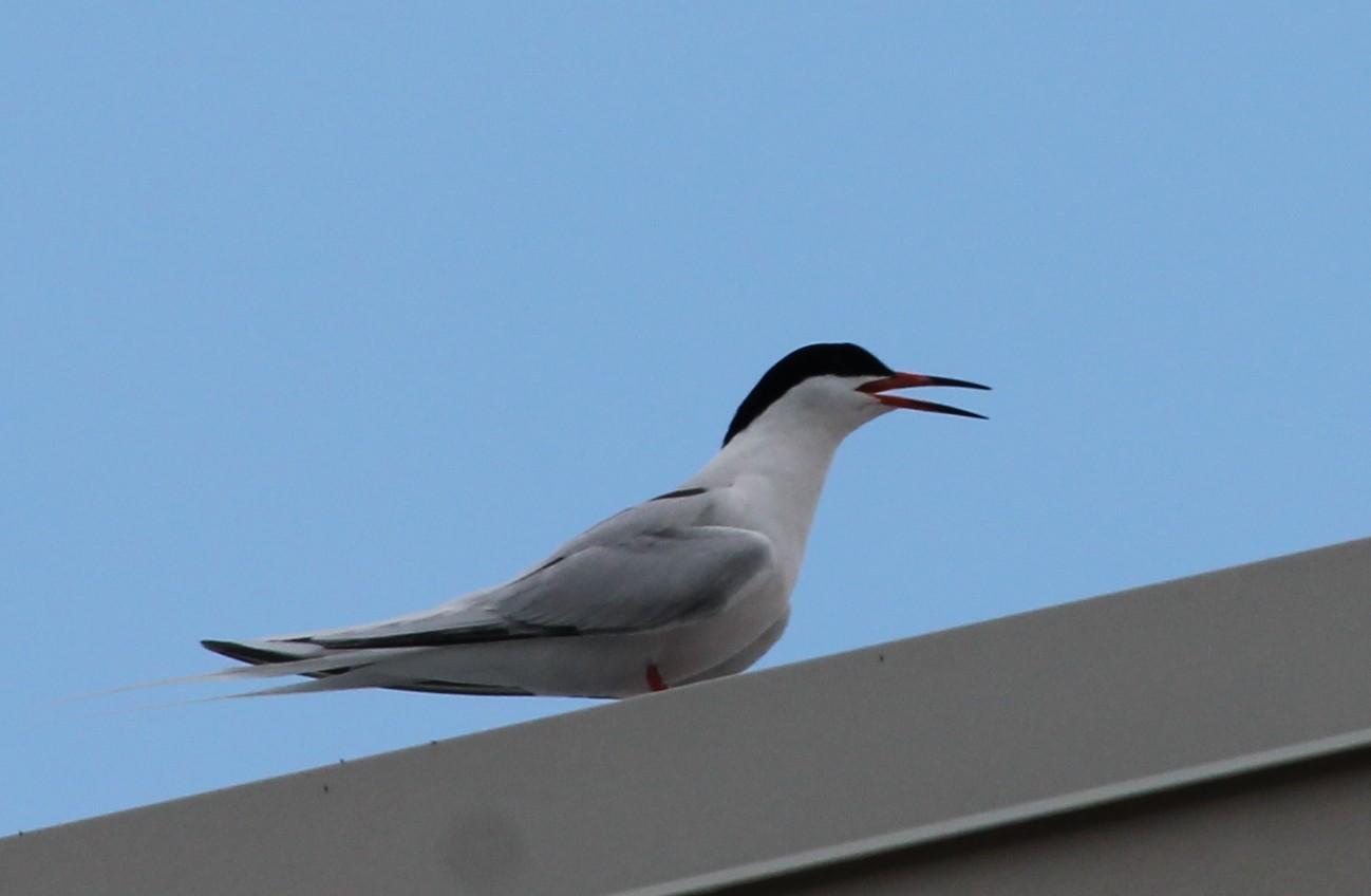 the flying mullet roseate terns in marathon fl