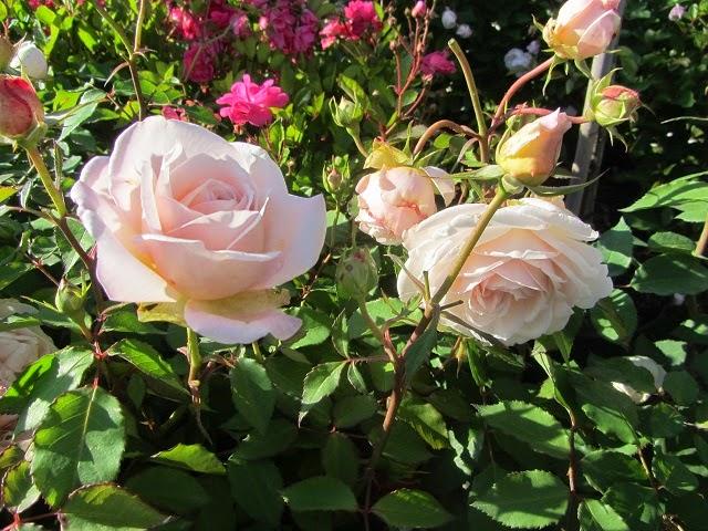 Le vieux clos mes nouveaux rosiers - Deplacer un rosier ...