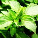 basil leaves diabetes cure