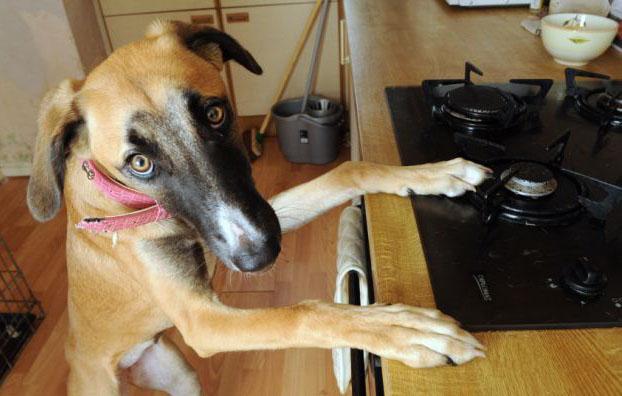 El prienso para perros casero es perjudicial