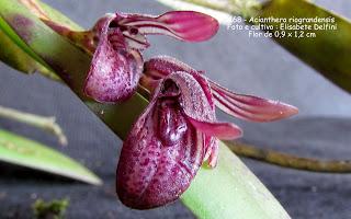 Acianthera  smithiana variedade 2 do blogdabeteorquideas