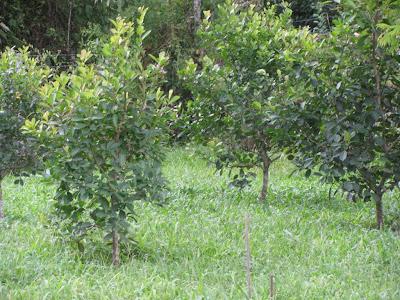 Plantio de Erva mate