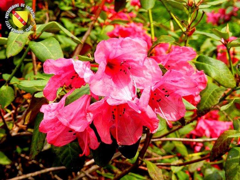 VILLERS-LES-NANCY (54) : Le jardin botanique du Montet-Épilobe à feuilles étroites