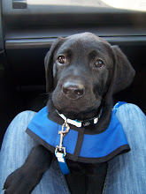 Check out our latest guide dog puppy Dave!