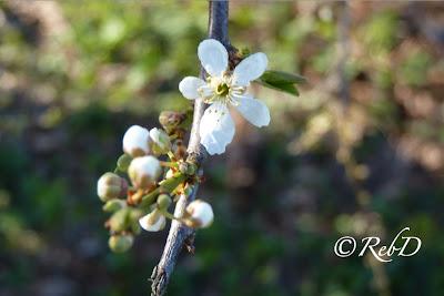 blomma på trädgren. foto: Reb Dutius