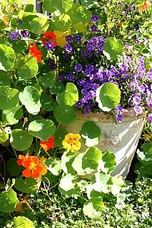 Topfgarten im Herbst - Kapuzinerkresse Tropaeolum und Enzianstrauch Solanum rantonnetii