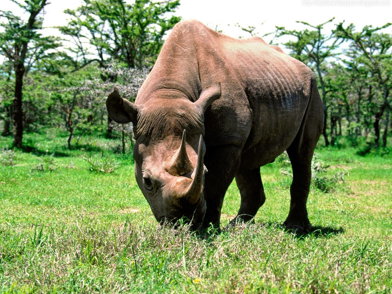 Black Rhinoceros HD Wallpapers -I- | Wallpaper Picture Photo