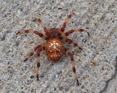 Shamrock Spider - Bug Scientific Name, Classification, Taxonomy ...