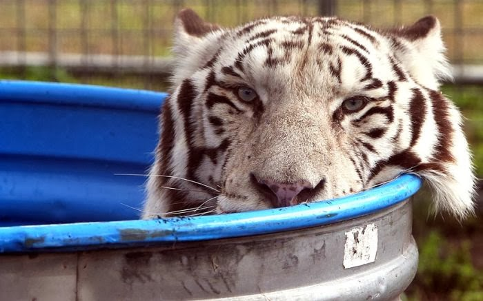 Funny animals of the week - 17 January 2014 (40 pics), white tiger chills out in a pool