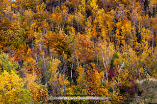 a background texture image of a stand of trees changing colour in the autumn season captured by chris gardiner photography www.cgardiner.ca with a canon eos 6d and 70-200 lens.