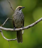 burung cucakrawa