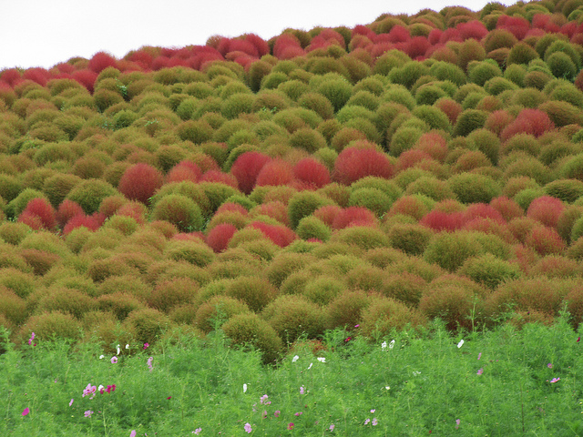 Hitachi Seaside Park: lindo parque japonês