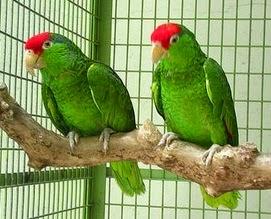 Amazons Parrots.