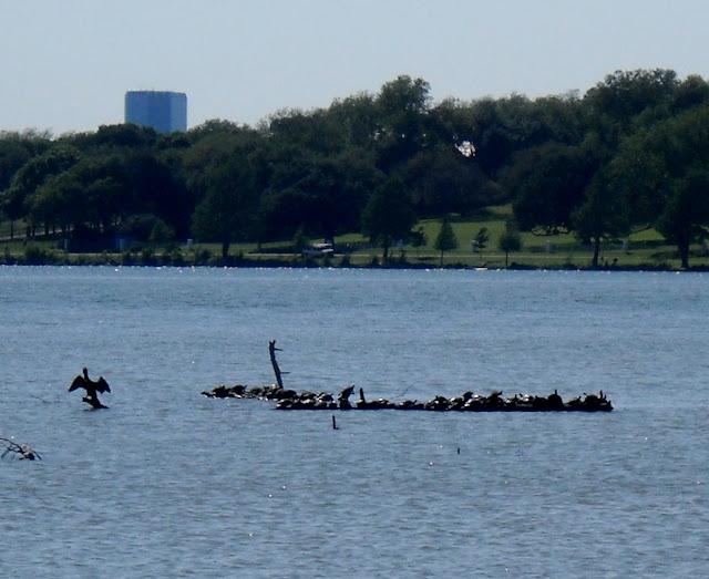Turtles basking on a log at White Rock Lake, Dallas, TX