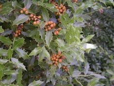 Congorosa Maytenus ilicifolia