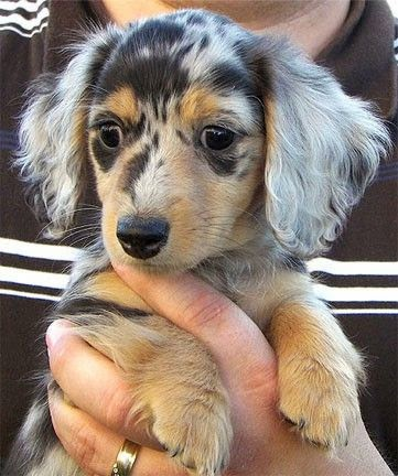 WANT Long-furred Dapple Cute Dachshund puppy