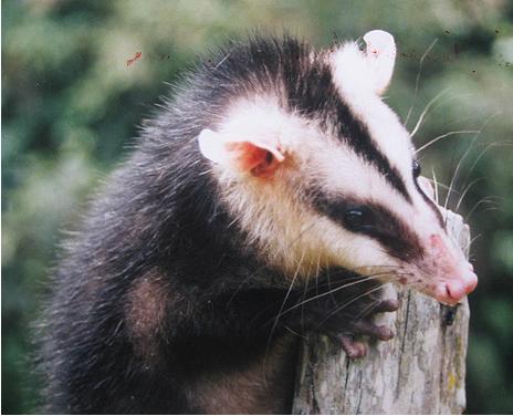 Fauna canadiense Mamiferos - Ecología - Taringa!