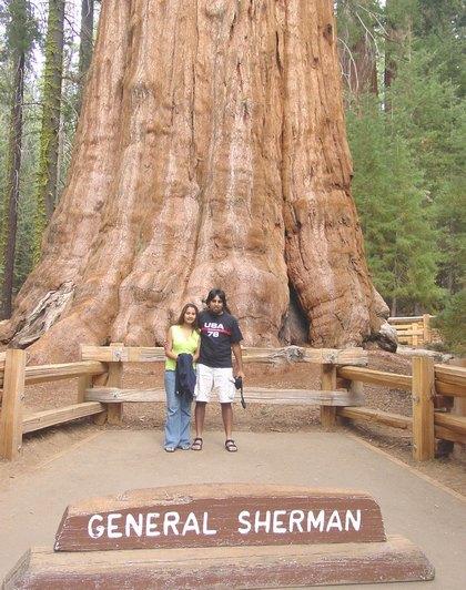 fenomena alam pohon terbesar di dunia