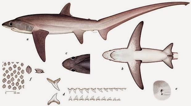 Tiburones en Galicia: Colas de zorro (fam. Alopiidae)