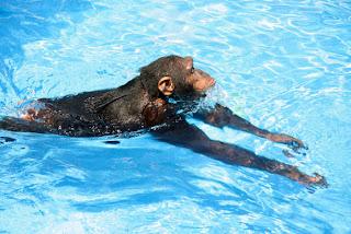 Chimpanzees, Orangutans Can Swim and Dive, Biologists Prove