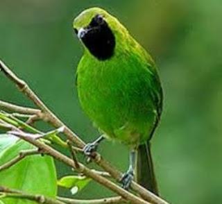 Daftar Harga Burung Cecak Ijo Terbaru Tgl. 30 September 2015