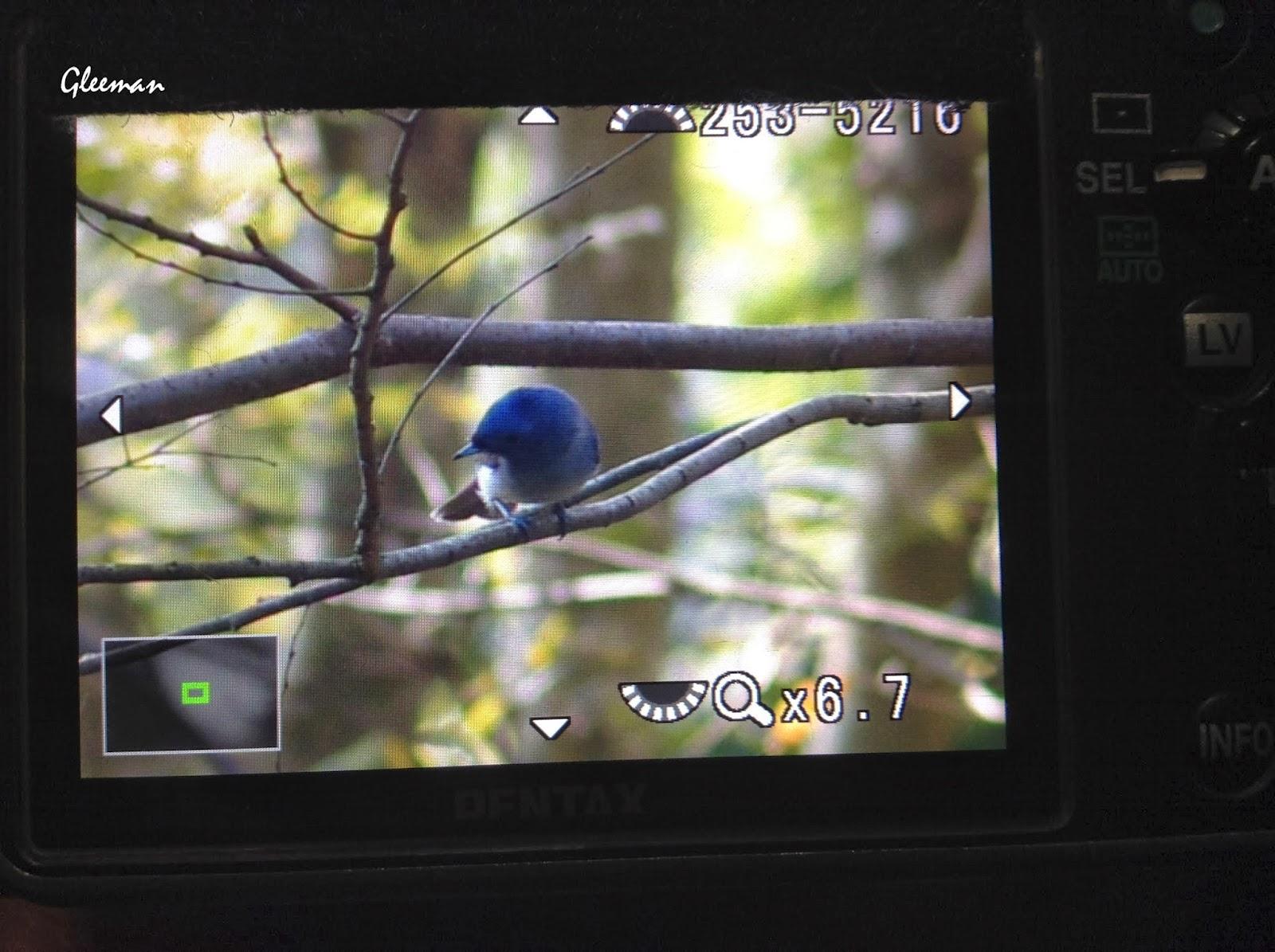 雞南山的黑枕藍鶲