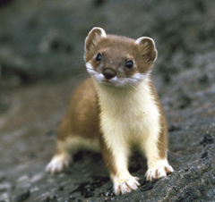 Baby short tailed weasel - photo#25